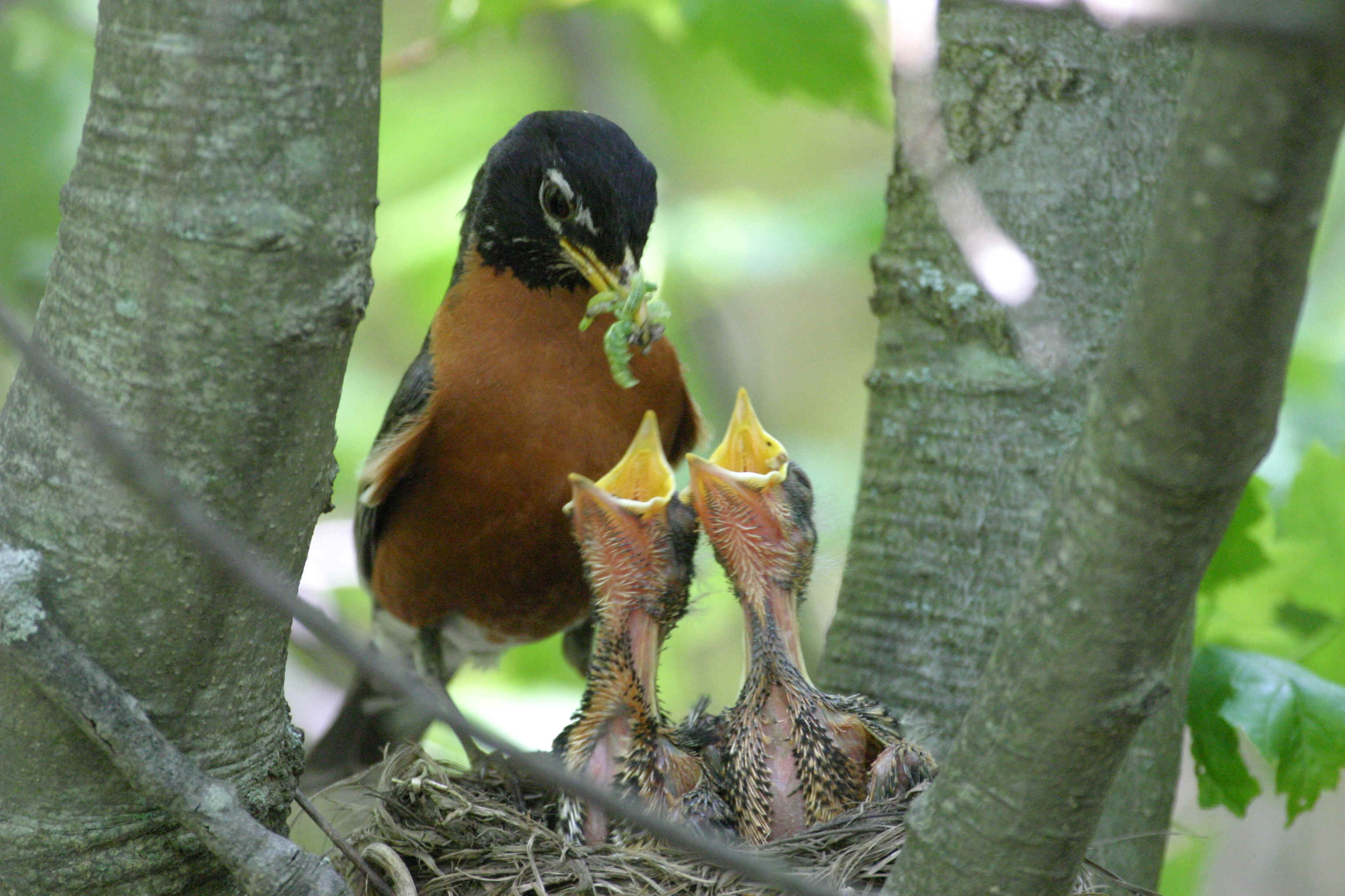 robin nest with babies